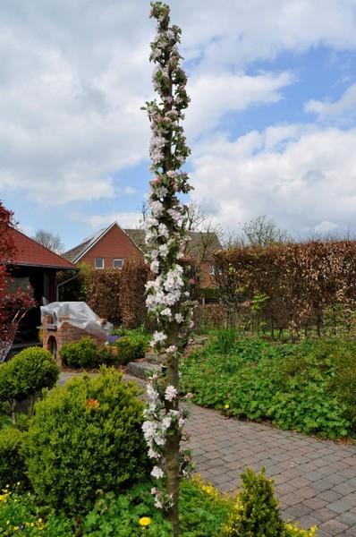 Prächtig Baumschule Hoffmann - Obstbäume, Hausbäume und Gehölze - Säulenobst #ZS_24